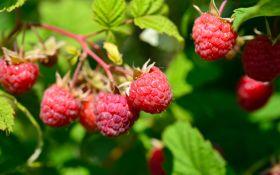 Ремонтантные сорта малины: два урожая за один сезон