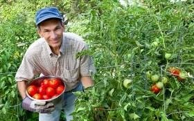 Помидорные «страдания»: рекомендации по уходу и выбору сорта