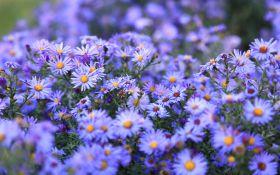 Как ухаживать за многолетними астрами в саду