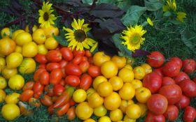 Открываем томатный сезон! Как вырастить среднеспелые сорта томатов