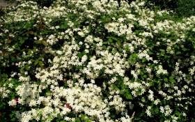 Греют душу белые цветы: лучшие сорта клематисов
