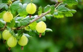 Выращиваем крыжовник: опыт польских садоводов