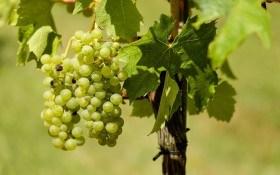Вот и открыт виноградный сезон...