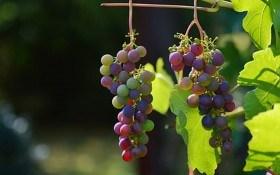 Оидиум на винограде не приговор. Как бороться с болезнью