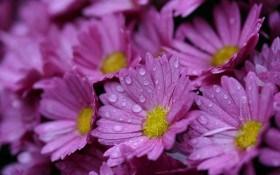 Три подкормки для хризантемы