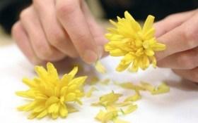 Хризантема: секрет долголетия