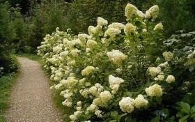 Гортензия метельчатая в вашем саду: применение в дизайне и самые популярные сорта