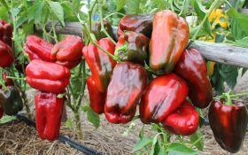 Крупноплодный перец: идеальная форма, безупречный вкус