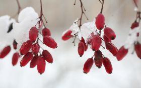 На фоне снега: декоративные кустарники с яркими ягодами