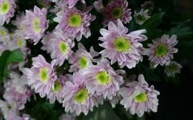 Три подкормки для хризантемы осенью