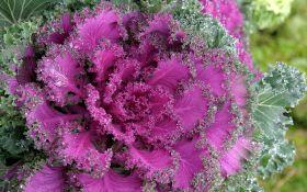 Декоративная капуста — снежная королева вашего сада