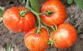 Как виращивать высокорослые помидоры? Секреты опытных овощеводов