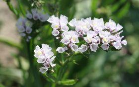 Cтатице: нежное растение со стойким нравом
