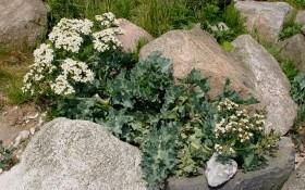 Катран сговорчивее хрена: как вырастить необычный овощ на своем участке?