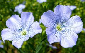 Голубоглазый лен: сорта, виды и основы выращивания