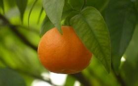 Счастье зреет на деревьях: как вырастить мандарин в комнатной культуре