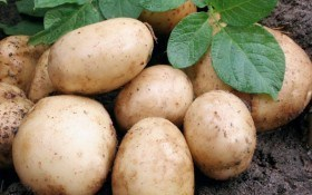 Молодой картофель к сентябрю