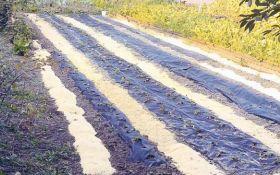 Как правильно мульчировать почву под землянику: советы бывалого