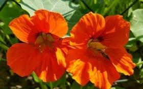 Салат капуцинов: свежая и витаминная... настурция!