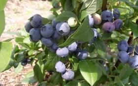 Голубика канадская: особенности выращивания