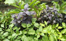 Совмещенные посадки овощных культур в теплице