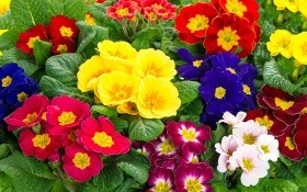 Двулетние цветы для летнего посева