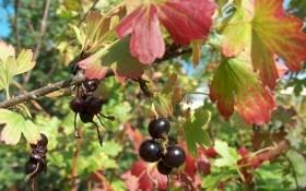 Смородина золотистая — ценная ягода: выращивание и полезные свойства