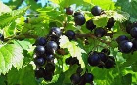 Как пересадить черную смородину в августе