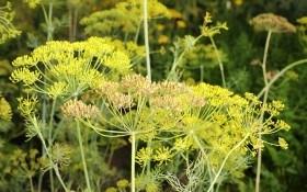 Вечнозеленый укроп: выращивание