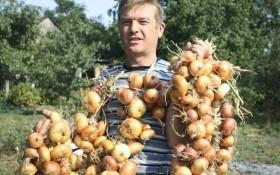 Луковые секреты: как правильно собирать и хранить урожай