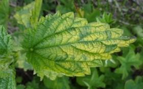 Как вылечить хлороз растений