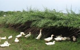 Почему утки любят дерезу?