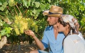 Правила сбора и хранения урожая винограда