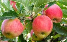Сажистый налет на яблоне: как с ним бороться?