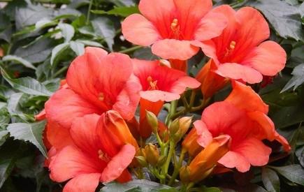 Великолепный кампсис: яркие грозди цветов в вашем саду