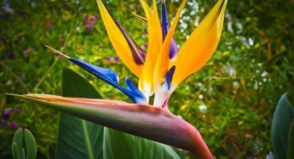 Райская птица – стрелиция