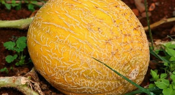 Дыня под июньским солнцем: особенности выращивания