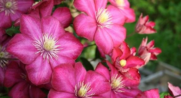 Лето розового цвета: клематисы в вашем саду