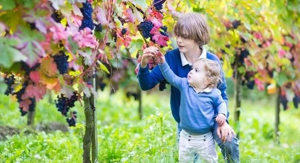 Подготовка винограда к зиме: как обрезать и укрыть