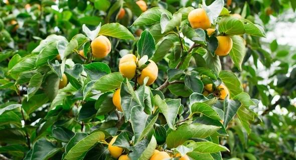 Чего хочет хурма: личный опыт выращивания