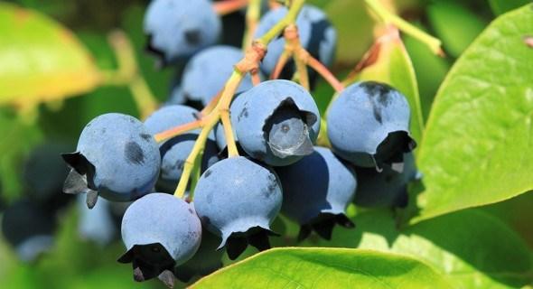 Голубика высшей пробы: виды, сорта и органическое выращивание