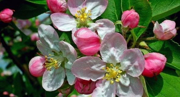 Збережемо плодові сади з ранньої весни