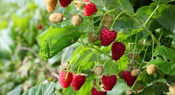 Малина: ягодные россыпи