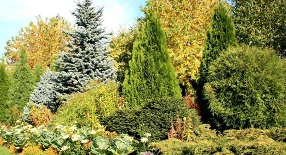 Пестрые «иголки»: сорта и правила ухода за хвойными