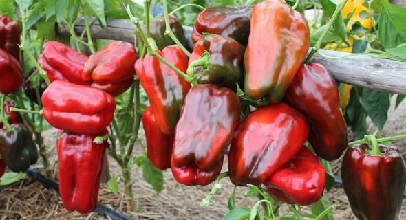 Крупноплодный сладкий перец: идеальная форма, безупречный вкус