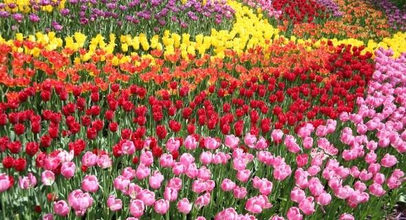 Фестиваль тюльпанов на Певческом поле