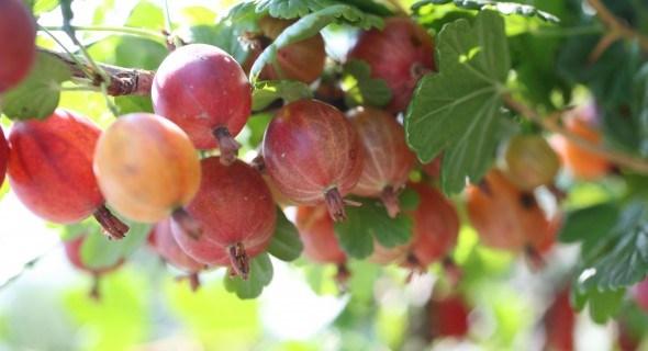 Как вырастить ягодные кустарники на вертикальных грядках