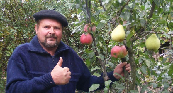 Садовые причуды: яблоки на груше