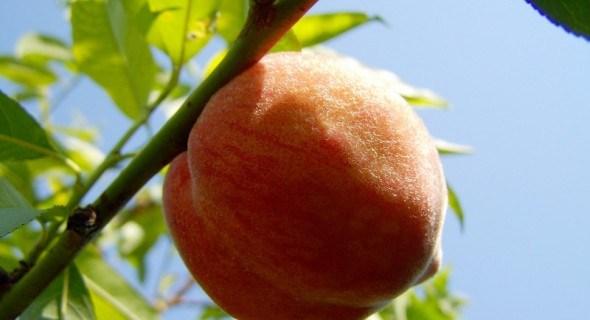 Размножаем персик: по закону Паскаля