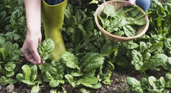 Когда сеять шпинат и рукколу в открытый грунт